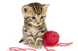 tenia, ascaridi, toxoplasmosi, gatto contagioso