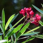Oleandro pianta fatale